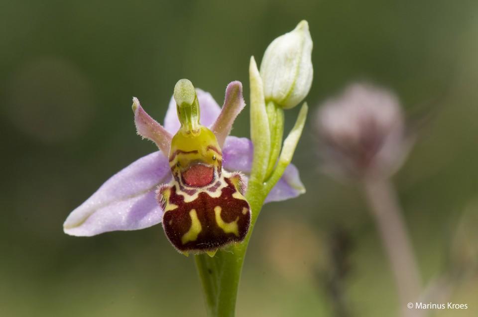 Album foto bijenorchis uit het fotoalbum Planten