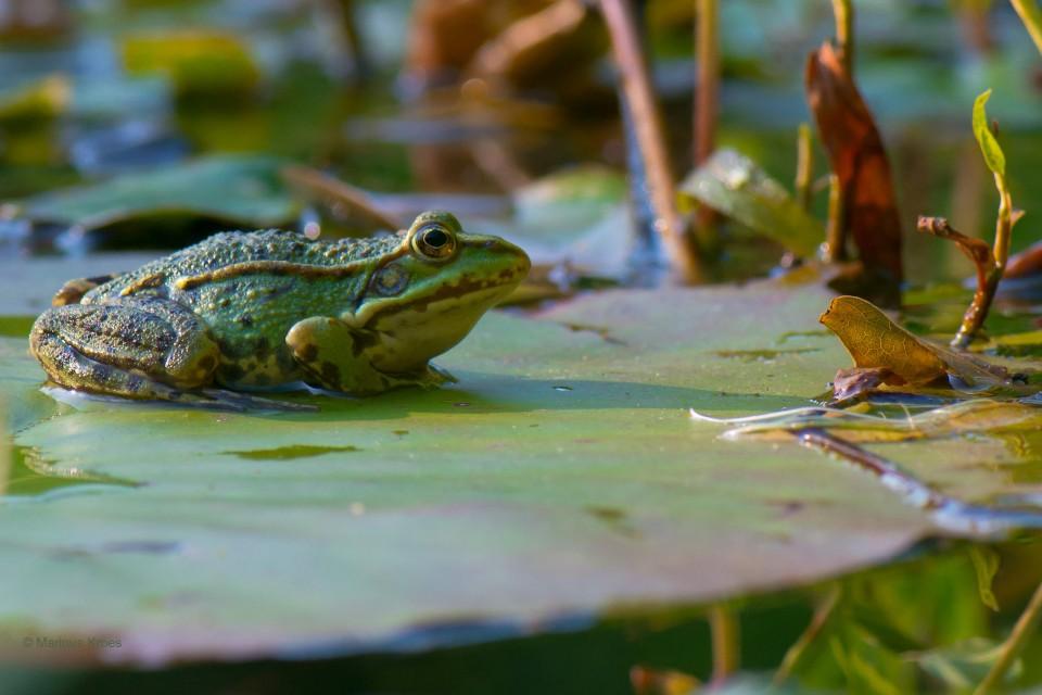 Album foto groene kikker uit het fotoalbum Reptielen