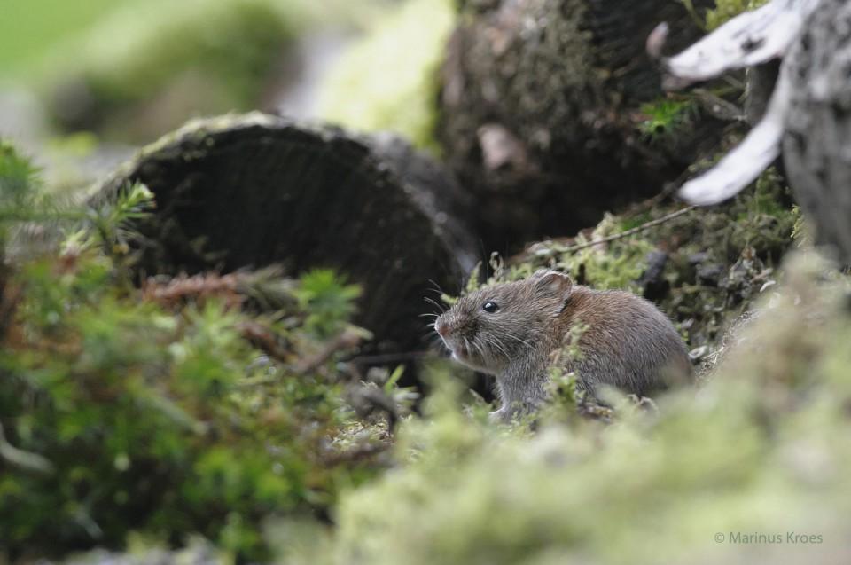 Album foto roessewoelmuis uit het fotoalbum Zoogdieren