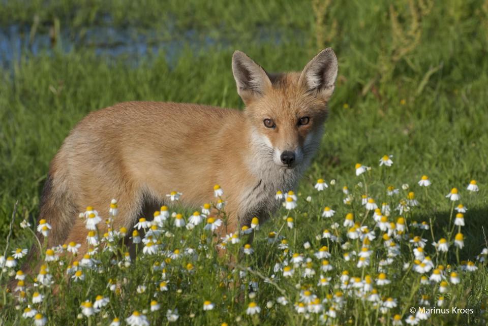 Album foto vos uit het fotoalbum Zoogdieren